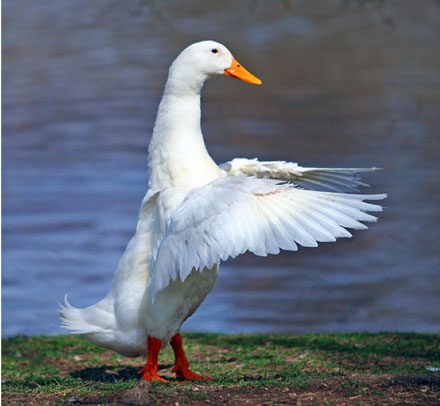 snow goose conducting with wings