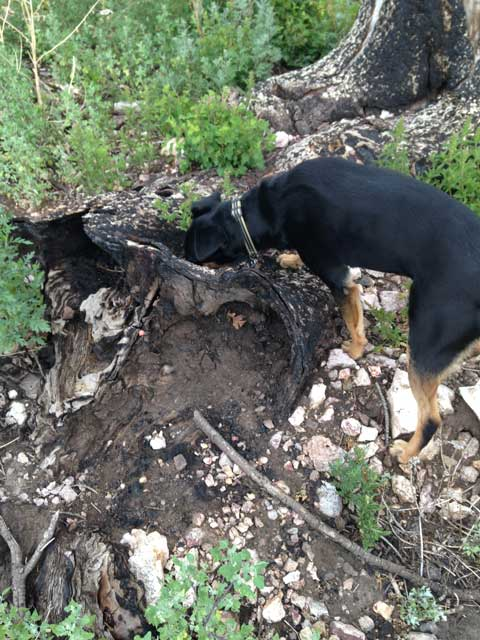 7-04-14-Montana-looking-in-stump