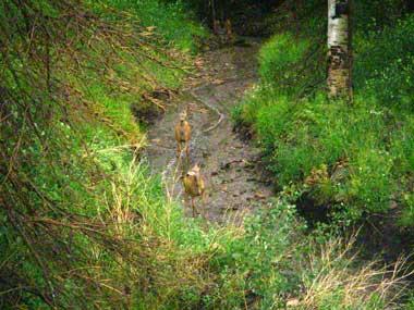7-08-14-Deer-in-del-Norte-Stream