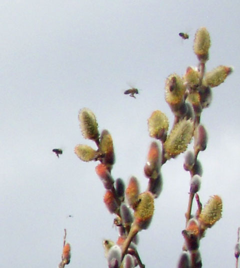 3-18-15-Bees-and-Pussy-WIllow-2-1
