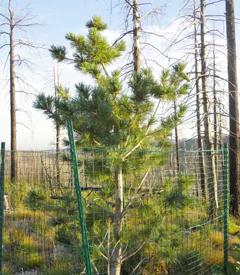 Limber-Pine-with-Cone