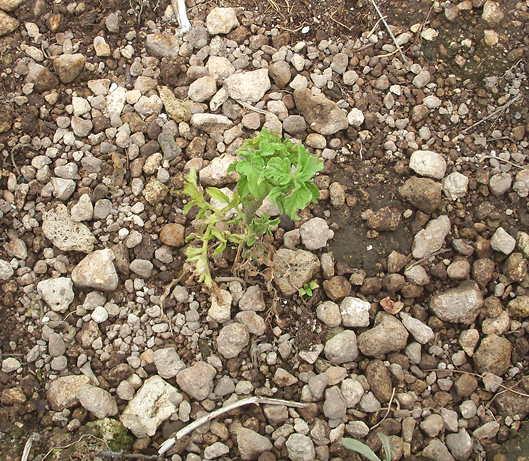 7-22-16 Tomatoes 1