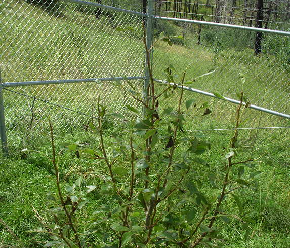 8-16-16 Results of Hail on Fruit Trees1