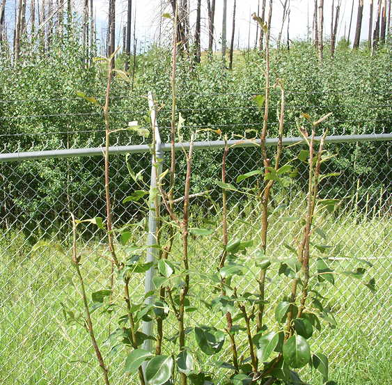 8-16-16 Results of Hail on Fruit Trees3