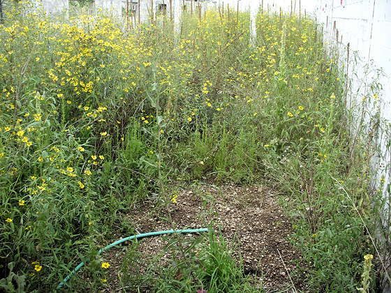 8-22-16 Weeds in Greenhouse