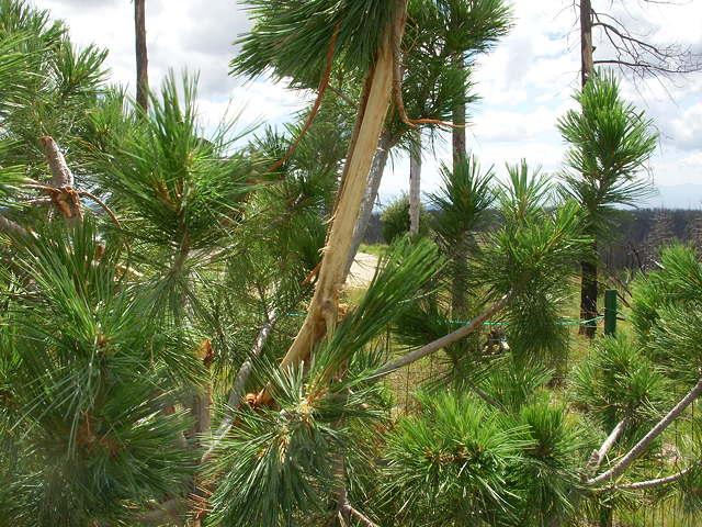 8-23-16 Limber Pine, New Damage